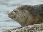 Common seal, author: Fran�ois Roland