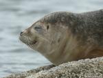 Common seal, author: François Roland