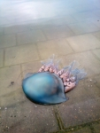 Zeepaddenstoel - Rhizostoma pulmo