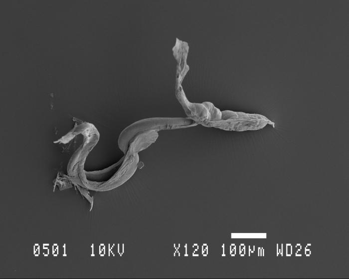 Fritillaria Scanning Electron Microscopy