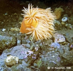 Urticinopsis antarctica & skeletons of sea-urchins.