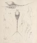 De  zeekommasoort 'Leptostylis gracilis'
