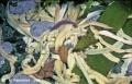 Nemertea (ribbon worms)