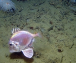 Cyttopsis on deep Gulf of Mexico reefs
