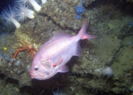 Roughy on deep rocky habitat - Gulf of Mexico