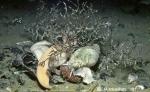 Neobuccinum & Parborlasia eat Abatus sp.