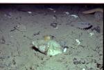 Buccinum undatum looks for food in the silt.