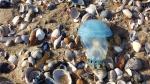 Zeepaddestoel - Rhizostoma pulmo