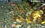 Amphipods eat excrements of the seals.