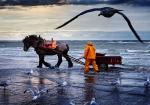The horseback shrimp fishermen of Oostduinkerke, Belgium