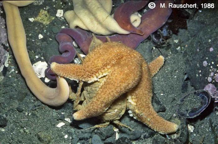 Diplasterias brucei eats Glyptonotus antarcticus.