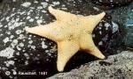 Odontaster meridionalis