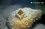 Cnemidocarpa verrucosa