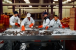 Sorting fish for the Flemish Fish Auction in Ostend harbour, which operates three days a week
