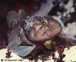 Notothenia rossi marmorata