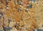 Didemnum vexillum on experimental plates, Woods Hole