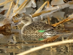 Common teal; green-winged teal (Anas crecca), female.