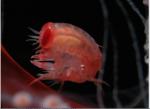 Prohyperia shihi female