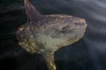 Sunfish - Mola mola