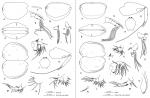 Archiconchoecia (Archiconchoecia) striata G.W. Müller, 1894, author: Drapun, Inna