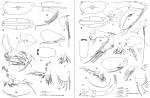 Discoconchoecia aff. elegans (Sars, 1865), author: Drapun, Inna