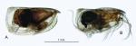 Loricoecia loricata (Claus, 1894), author: Drapun, Inna