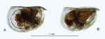 Mikroconchoecia curta s.l. (Lubbock, 1860), author: Drapun, Inna