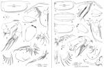 Paraconchoecia inermis Claus, 1890, author: Drapun, Inna