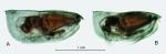 Paraconchoecia oblonga Claus, 1890, form B, author: Drapun, Inna