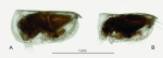 Porroecia spinirostris (Claus, 1874), author: Drapun, Inna
