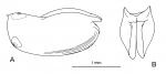 Paraconchoecia spinifera Claus, 1890, author: Drapun, Inna