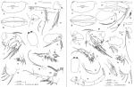 Discoconchoecia tamensis (Poulsen, 1973), author: Drapun, Inna