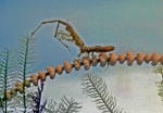 Antarcturus (Antarcturidae)