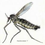 Parochlus steineni (female)