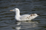 Slender-billed gull (Larus genei)