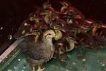 Eenden, ganzen & zwanen
