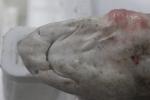 Smallspotted catshark - Scyliorhinus canicula