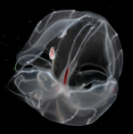 Glossocephalus rebecae Zeidler & Browne, 2015 in vivo photograph of holotype female on its host, the ctenophore Bathocyroe fosteri.