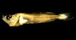 Pollachius virens larvae whole