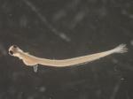 Alosa sapidissima larvae, author: Rogers, Katie Anne