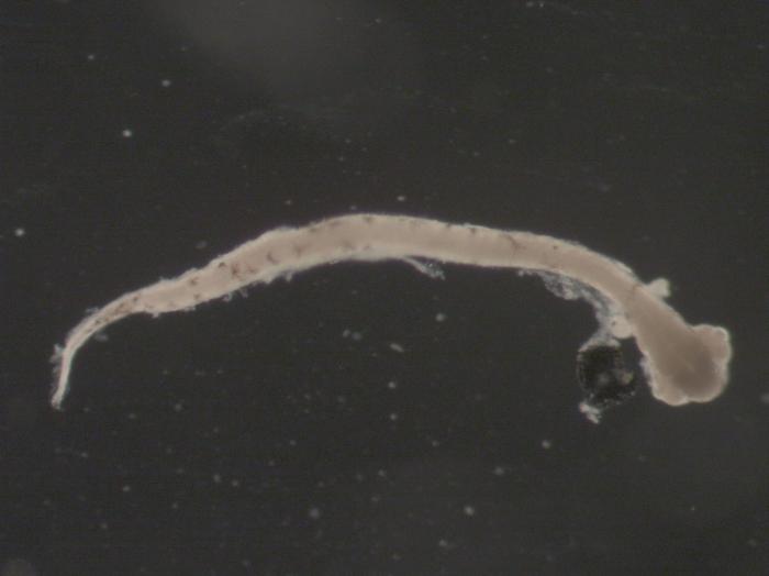 Hippoglossoides platessoides larvae