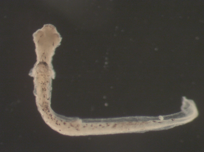 Morone americana larvae