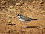 Little ringed plover.