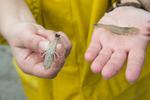 Grijze garnaal met eitjes