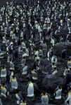 King Penguin colony 2CS5_1