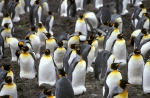 King Penguin colony a_1