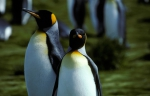 King Penguin pair (rev)CS6_1