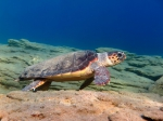 Caretta caretta (female)