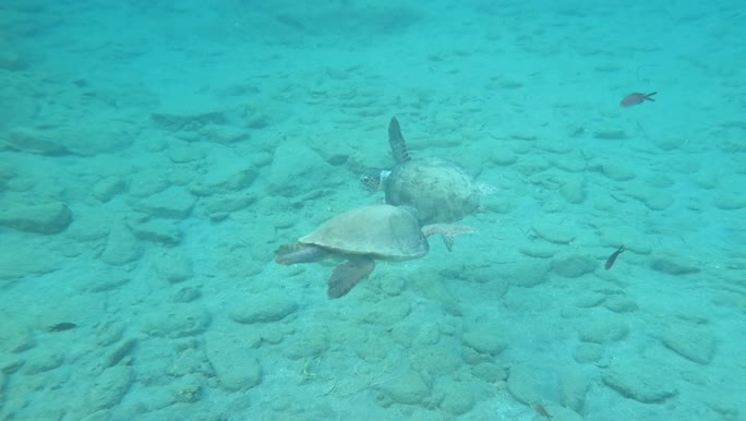 Caretta caretta (male and female)