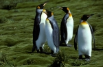 King Penguins and Azorella_1